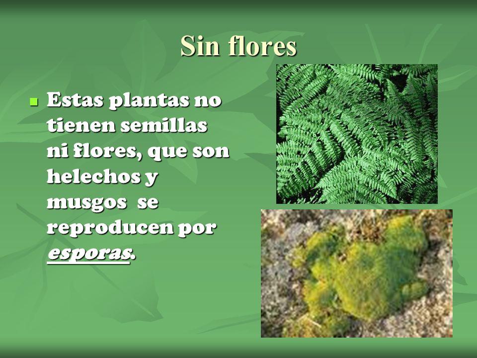 Sin flores Estas plantas no tienen semillas ni flores, que son helechos y musgos se reproducen por esporas. Estas plantas no tienen semillas ni flores