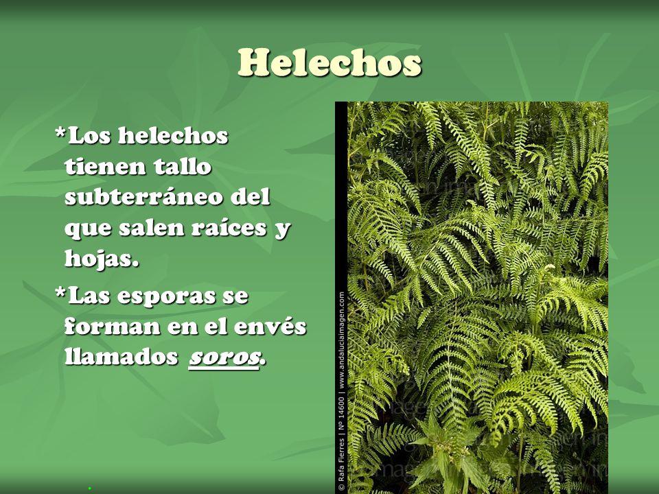 Helechos *Los helechos tienen tallo subterráneo del que salen raíces y hojas. *Los helechos tienen tallo subterráneo del que salen raíces y hojas. *La