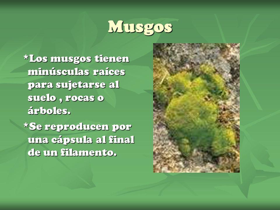 Musgos *Los musgos tienen minúsculas raíces para sujetarse al suelo, rocas o árboles. *Los musgos tienen minúsculas raíces para sujetarse al suelo, ro