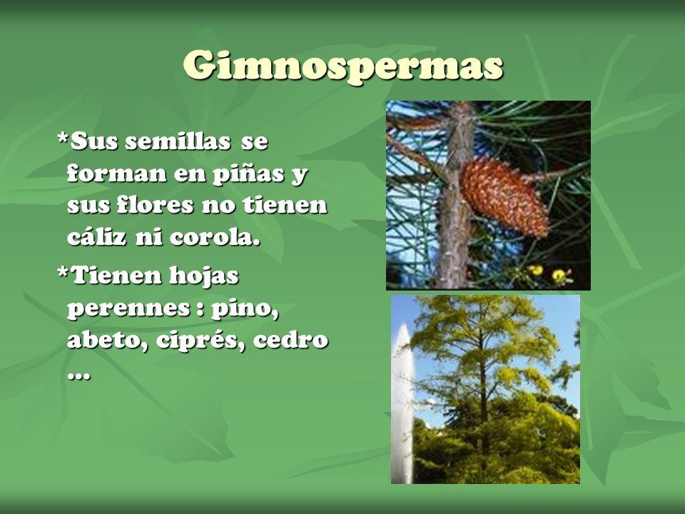 Gimnospermas *Sus semillas se forman en piñas y sus flores no tienen cáliz ni corola. *Tienen hojas perennes : pino, abeto, ciprés, cedro …