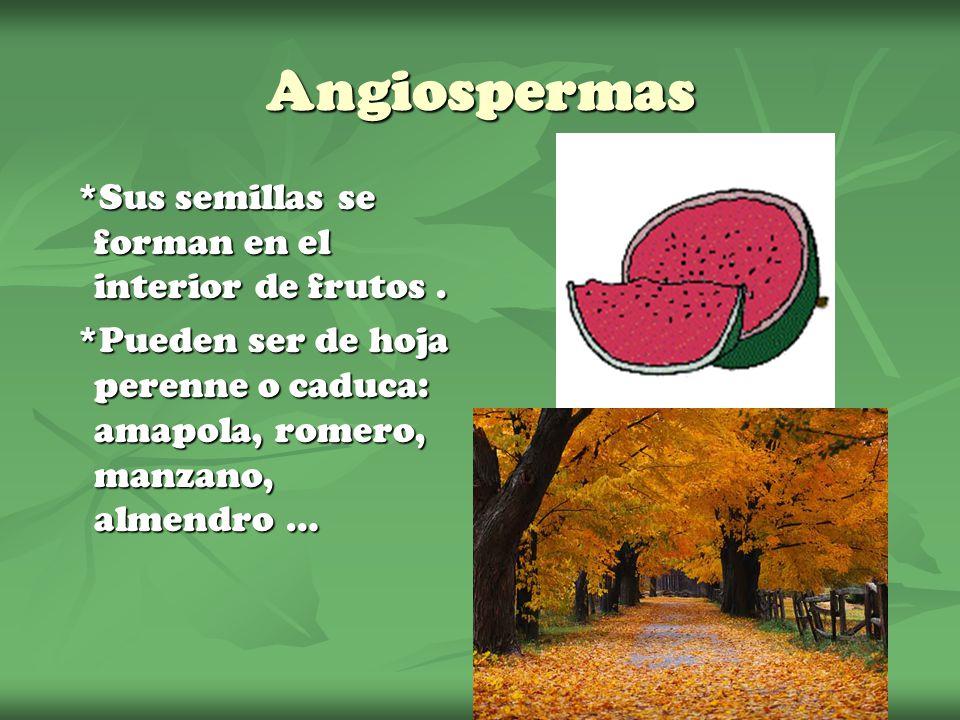 Angiospermas *Sus semillas se forman en el interior de frutos. *Pueden ser de hoja perenne o caduca: amapola, romero, manzano, almendro …