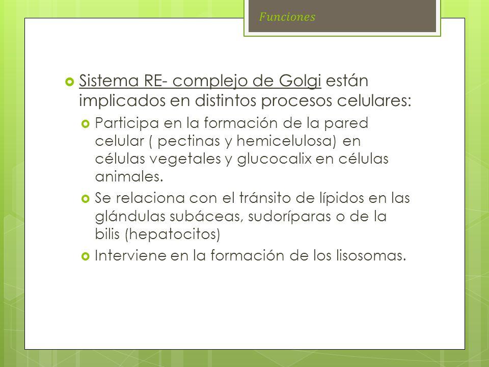 Sistema RE- complejo de Golgi están implicados en distintos procesos celulares: Participa en la formación de la pared celular ( pectinas y hemicelulos