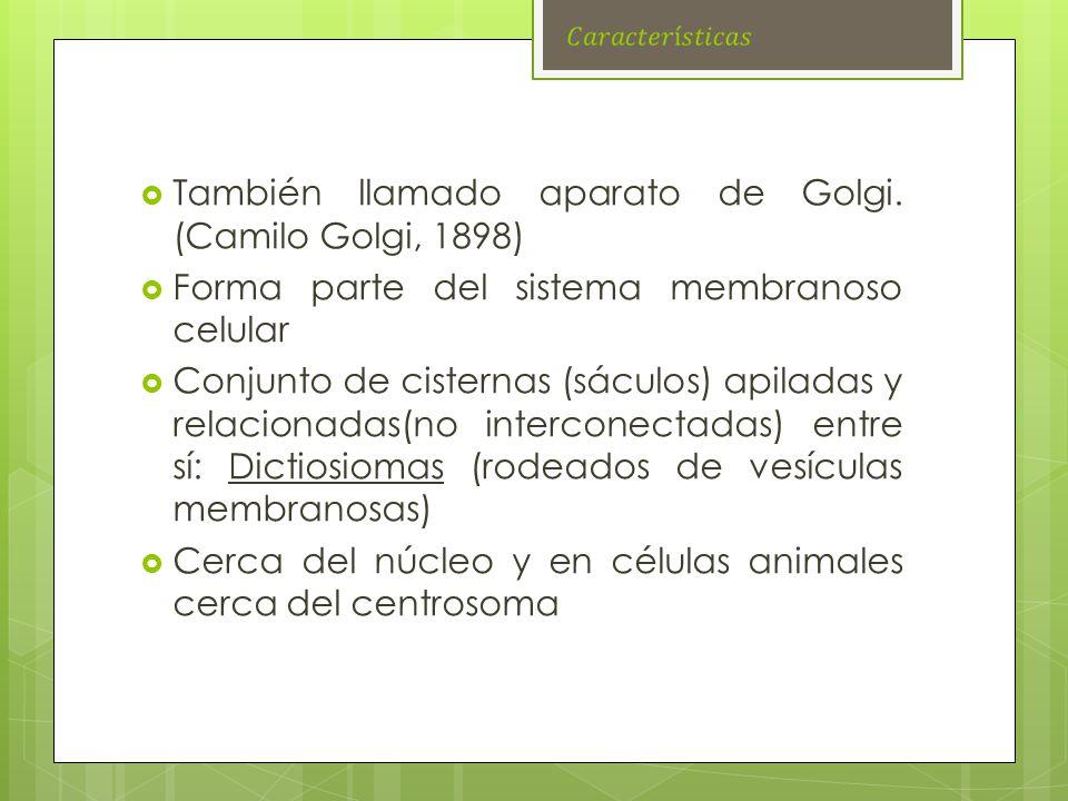 También llamado aparato de Golgi. (Camilo Golgi, 1898) Forma parte del sistema membranoso celular Conjunto de cisternas (sáculos) apiladas y relaciona