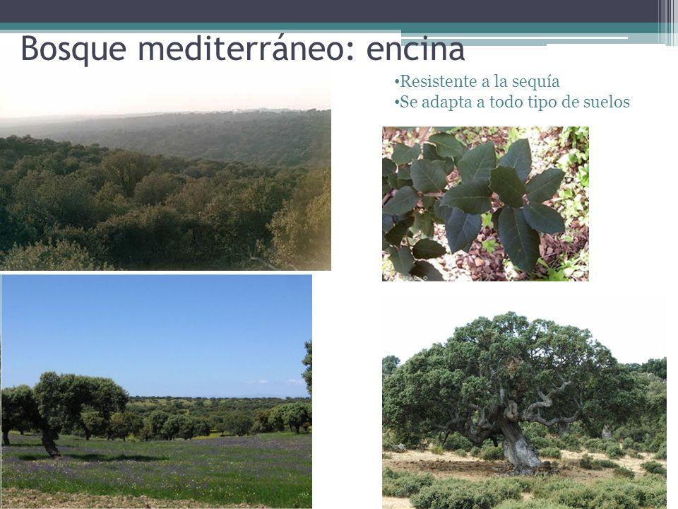 Bosque mediterráneo: encina Resistente a la sequía Se adapta a todo tipo de suelos