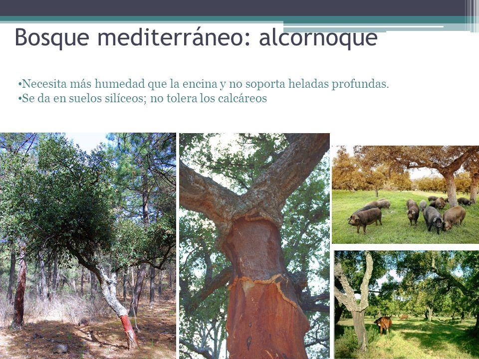 Bosque mediterráneo: alcornoque Necesita más humedad que la encina y no soporta heladas profundas. Se da en suelos silíceos; no tolera los calcáreos