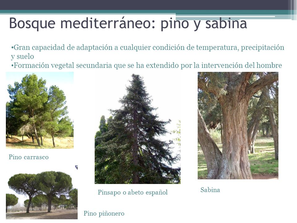 Bosque mediterráneo: pino y sabina Gran capacidad de adaptación a cualquier condición de temperatura, precipitación y suelo Formación vegetal secundar