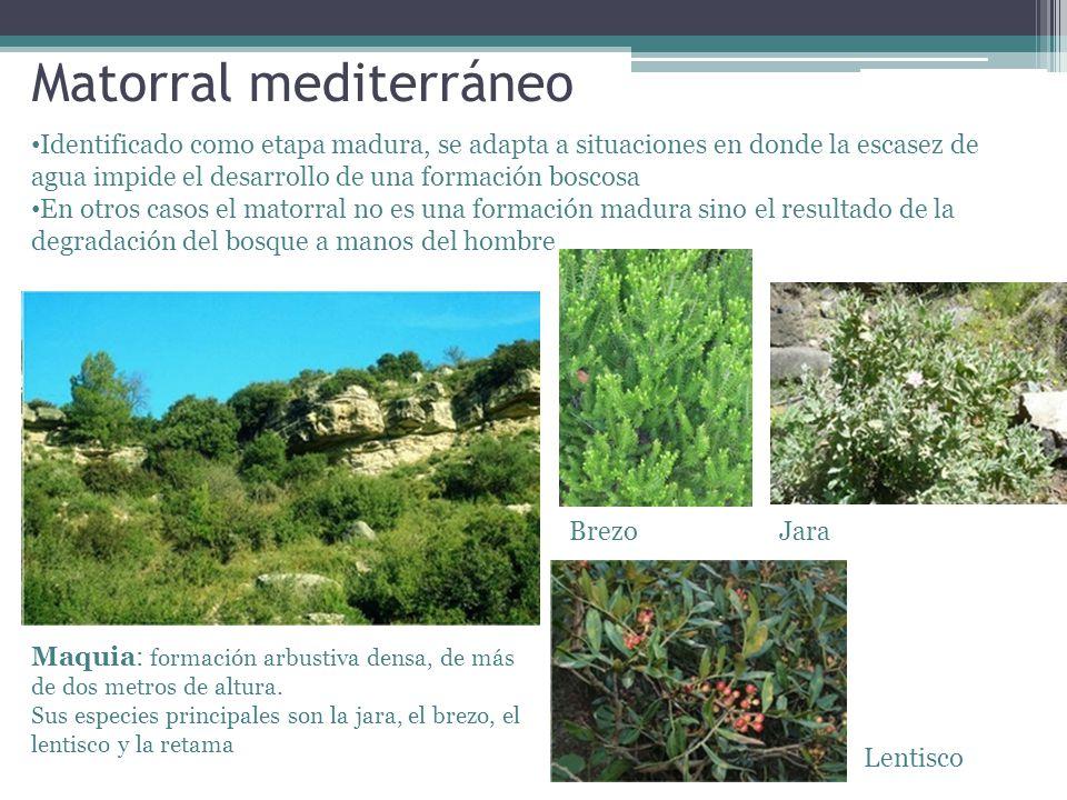 Matorral mediterráneo Identificado como etapa madura, se adapta a situaciones en donde la escasez de agua impide el desarrollo de una formación boscos