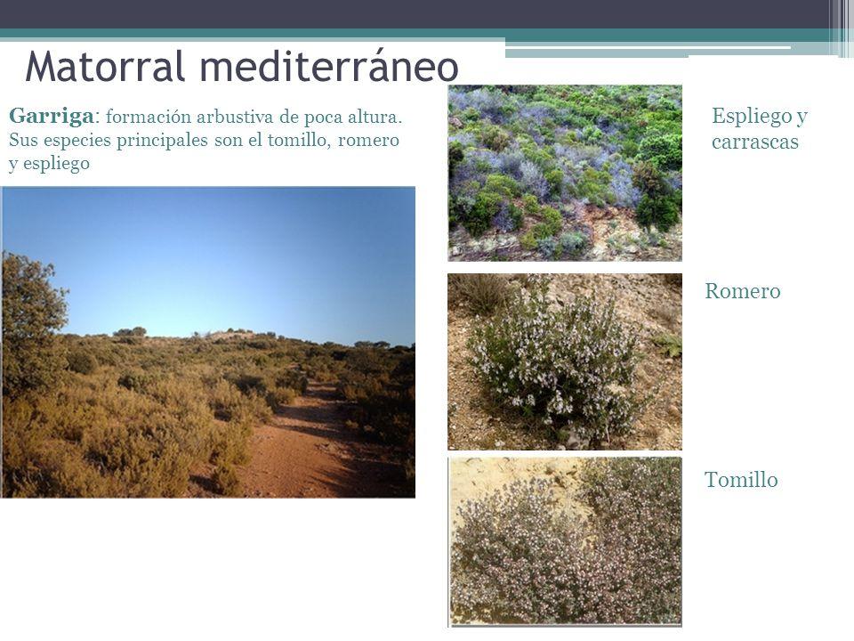 Matorral mediterráneo Garriga: formación arbustiva de poca altura. Sus especies principales son el tomillo, romero y espliego Espliego y carrascas Rom