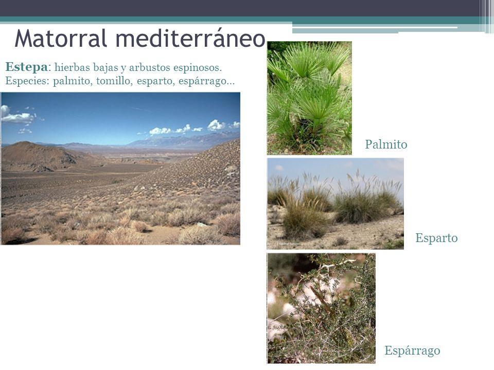 Matorral mediterráneo Estepa: hierbas bajas y arbustos espinosos. Especies: palmito, tomillo, esparto, espárrago… Palmito Esparto Espárrago