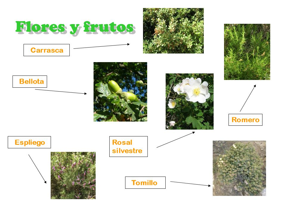 Vegetación Encinar Flores y frutos