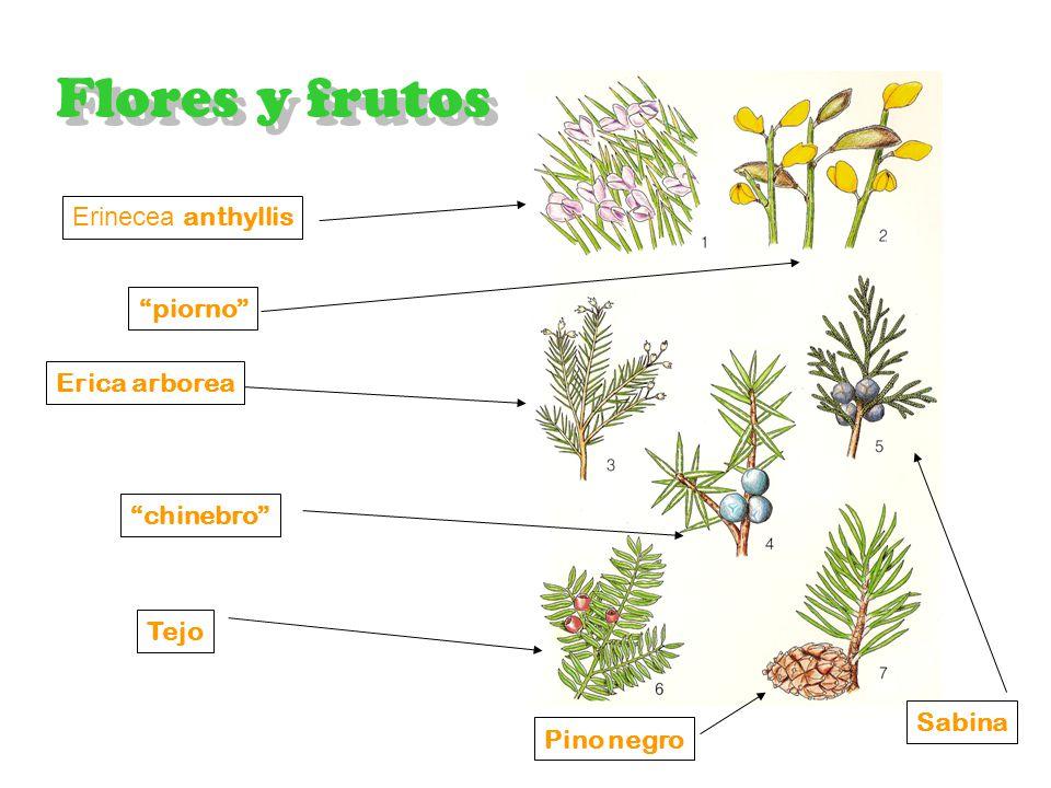 Vegetación Pinar Flores y frutos