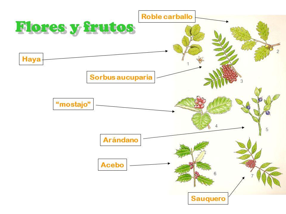 Vegetación Hayedo Flores y frutos