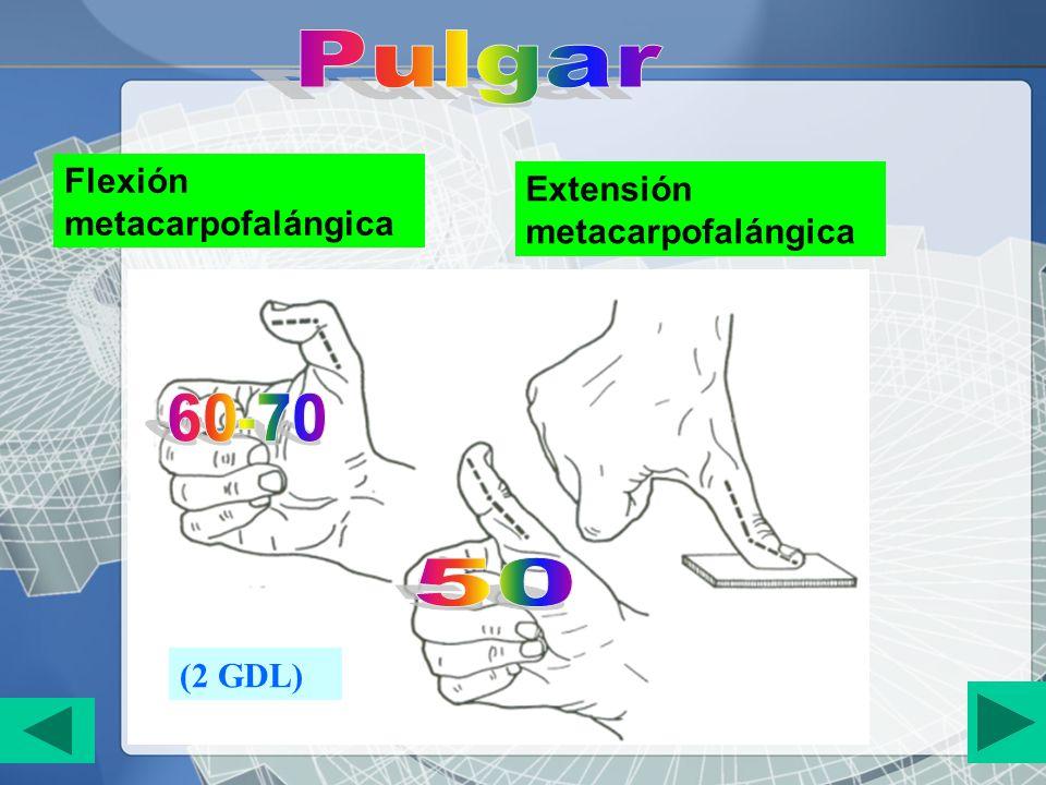 Flexión metacarpofalángica Extensión metacarpofalángica (2 GDL)
