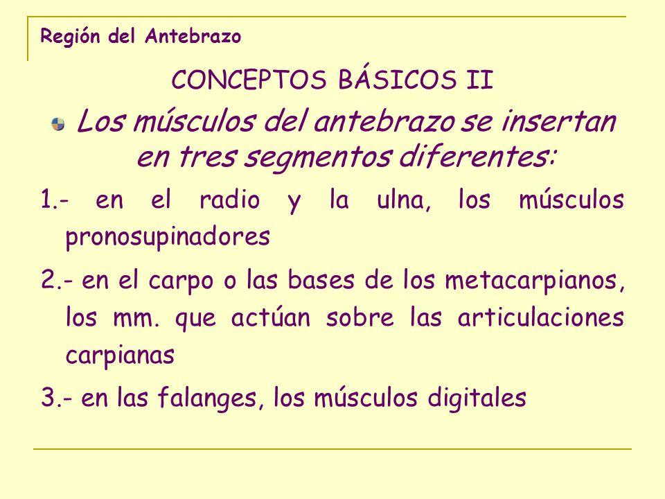 Región del Antebrazo CONCEPTOS BÁSICOS II Los músculos del antebrazo se insertan en tres segmentos diferentes: 1.- en el radio y la ulna, los músculos