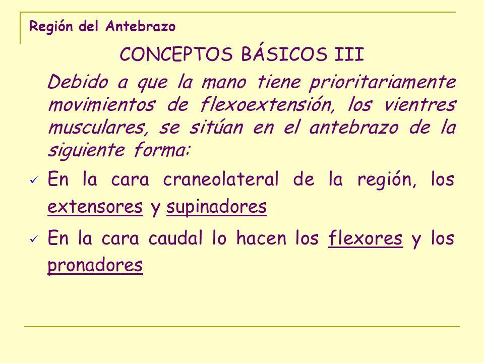 Región del Antebrazo CONCEPTOS BÁSICOS III Debido a que la mano tiene prioritariamente movimientos de flexoextensión, los vientres musculares, se sitú