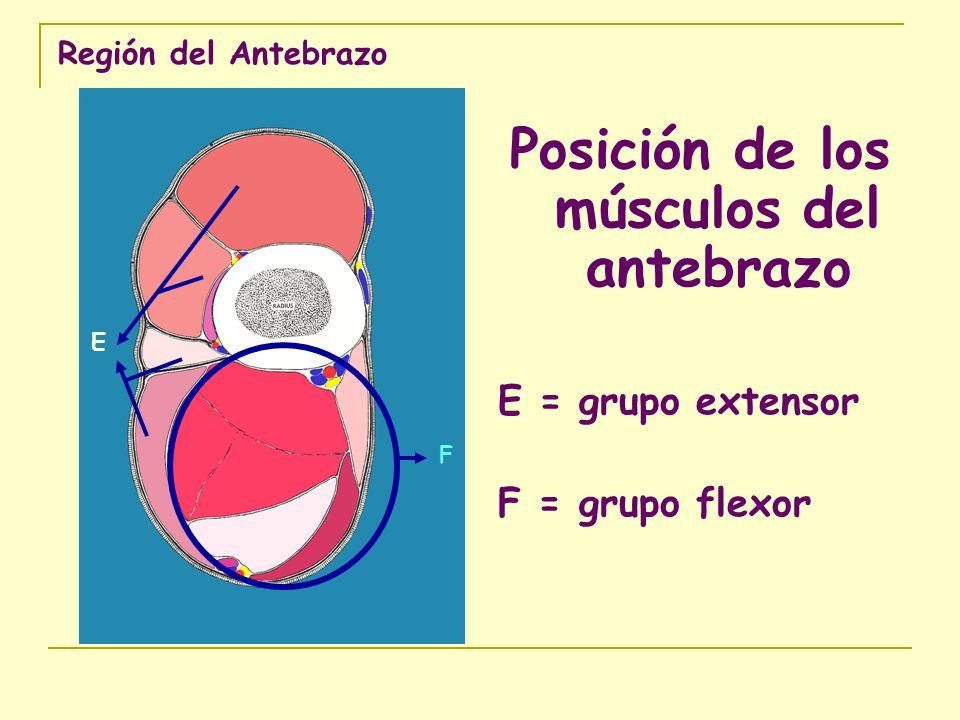 Región del Antebrazo Posición de los músculos del antebrazo E = grupo extensor F = grupo flexor E F