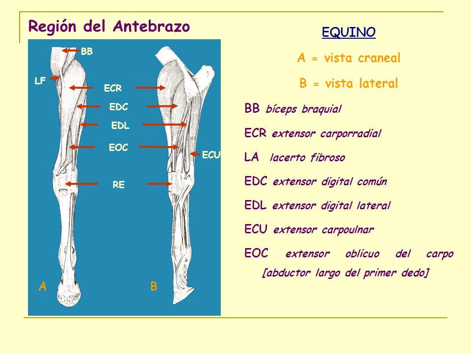 Región del Antebrazo EQUINO A = vista craneal B = vista lateral BB bíceps braquial ECR extensor carporradial LA lacerto fibroso EDC extensor digital c
