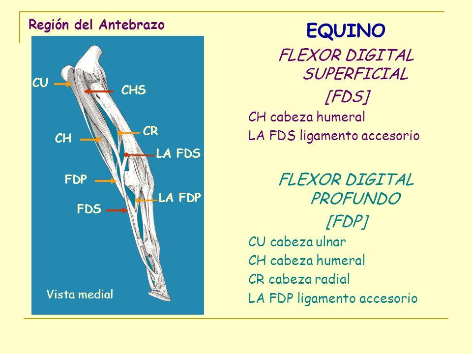 Región del Antebrazo EQUINO FLEXOR DIGITAL SUPERFICIAL [FDS] CH cabeza humeral LA FDS ligamento accesorio FLEXOR DIGITAL PROFUNDO [FDP] CU cabeza ulna