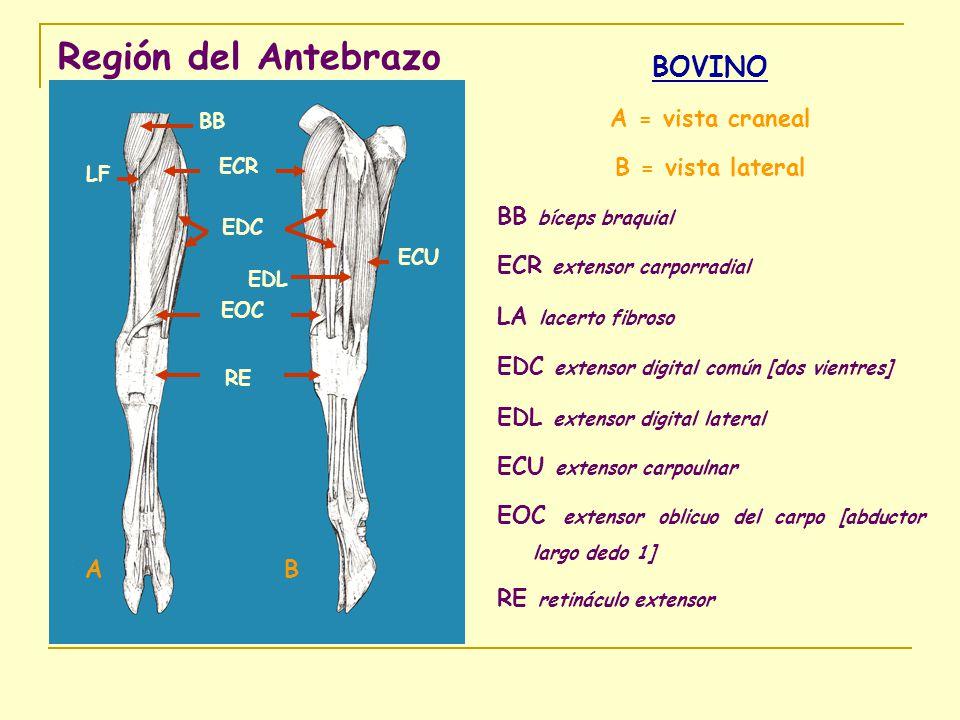 Región del Antebrazo BOVINO A = vista craneal B = vista lateral BB bíceps braquial ECR extensor carporradial LA lacerto fibroso EDC extensor digital c