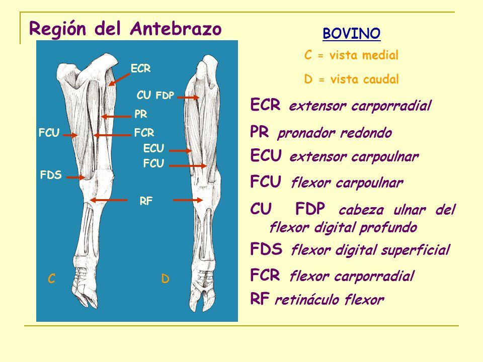 Región del Antebrazo BOVINO C = vista medial D = vista caudal ECR extensor carporradial PR pronador redondo ECU extensor carpoulnar FCU flexor carpoul
