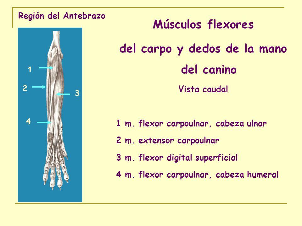 Región del Antebrazo Músculos flexores del carpo y dedos de la mano del canino Vista caudal 1 m. flexor carpoulnar, cabeza ulnar 2 m. extensor carpoul