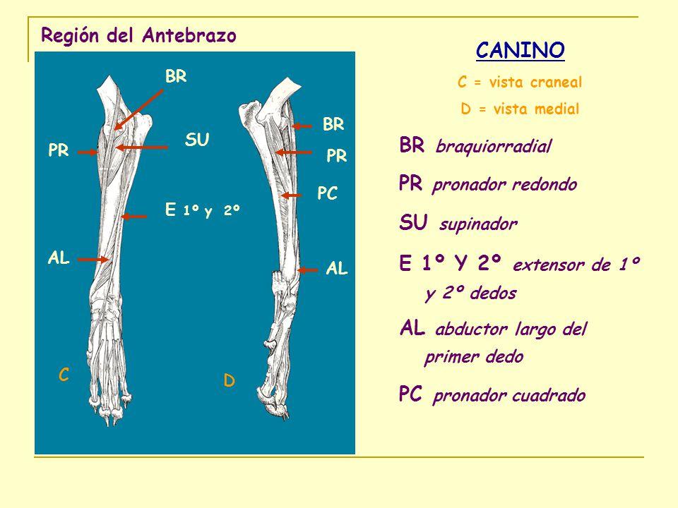 Región del Antebrazo CANINO C = vista craneal D = vista medial BR braquiorradial PR pronador redondo SU supinador E 1º Y 2º extensor de 1º y 2º dedos
