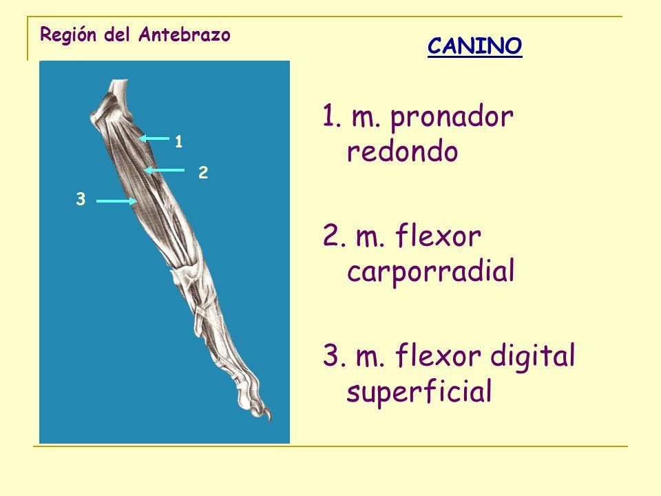 Región del Antebrazo CANINO 1. m. pronador redondo 2. m. flexor carporradial 3. m. flexor digital superficial 1 2 3
