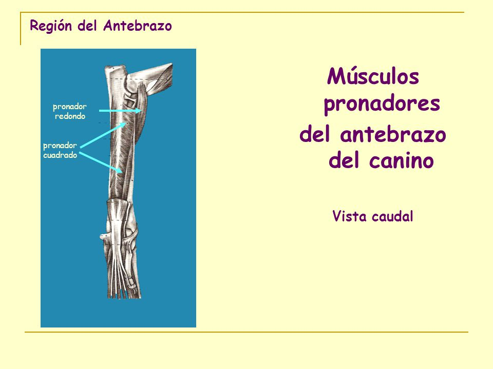 Región del Antebrazo Músculos pronadores del antebrazo del canino Vista caudal pronador redondo pronador cuadrado
