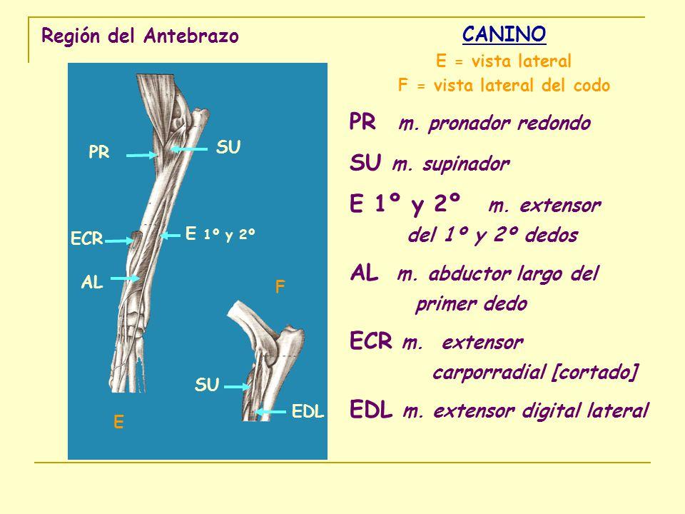 Región del Antebrazo CANINO E = vista lateral F = vista lateral del codo PR m. pronador redondo SU m. supinador E 1º y 2º m. extensor del 1º y 2º dedo