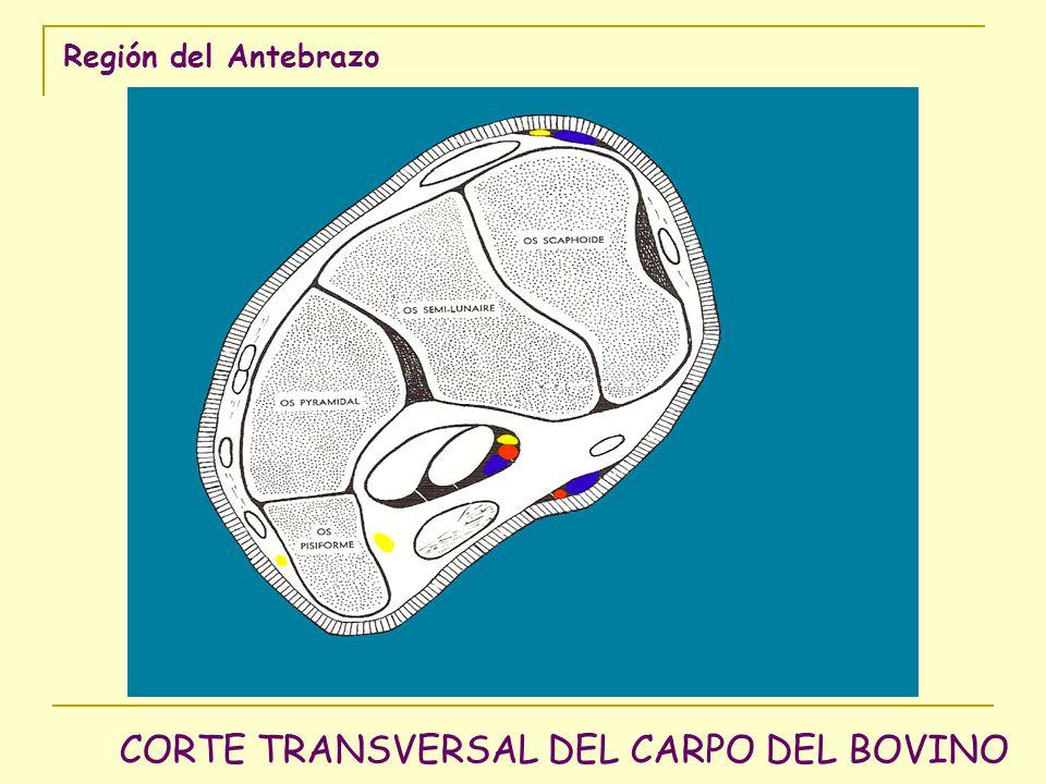 Región del Antebrazo CORTE TRANSVERSAL DEL CARPO DEL BOVINO