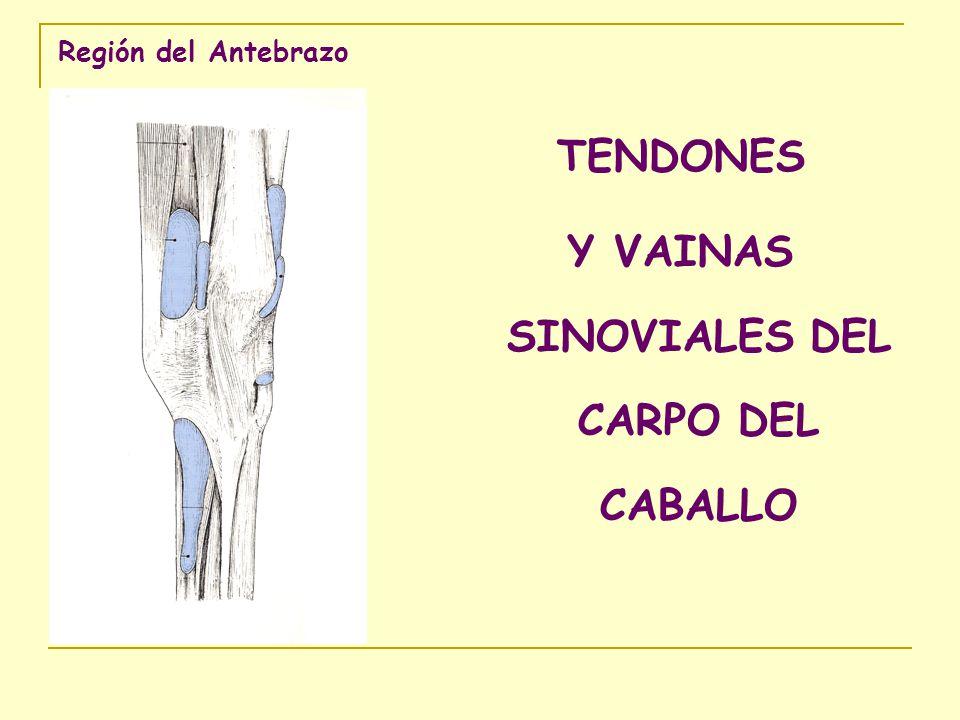 Región del Antebrazo TENDONES Y VAINAS SINOVIALES DEL CARPO DEL CABALLO