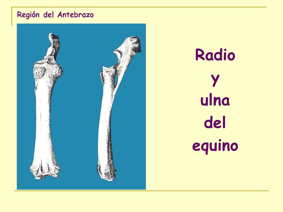 Región del Antebrazo Radio y ulna del bovino