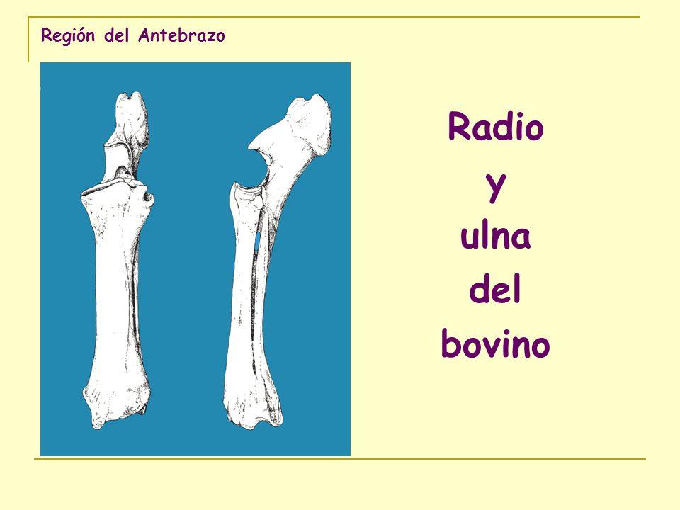 Región del Antebrazo Radio y ulna del canino Vista cranealVista medialVista caudalVista lateral