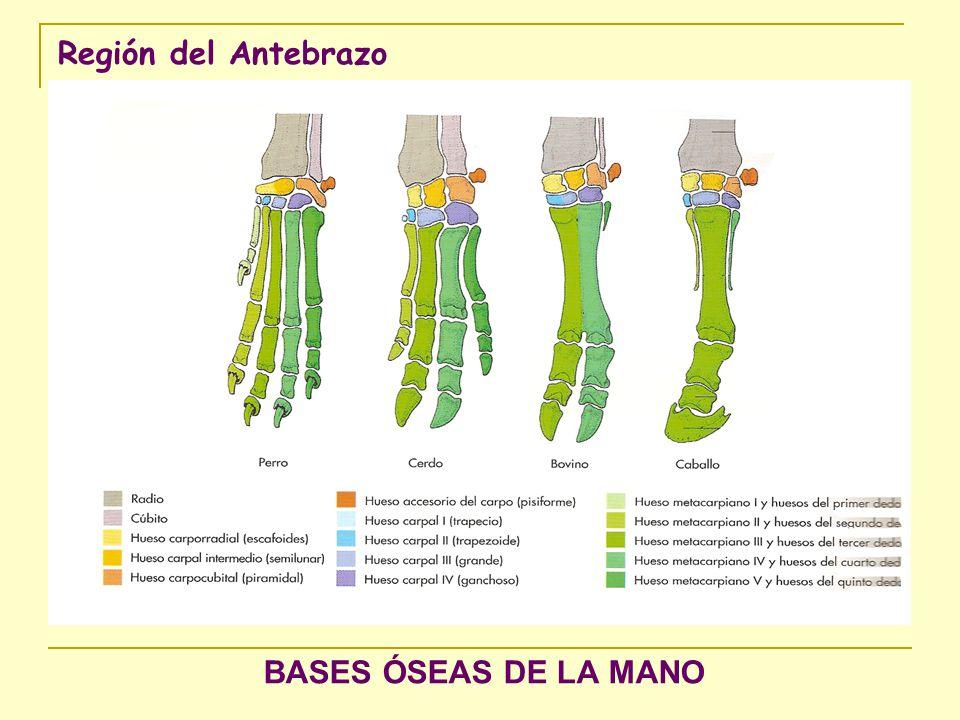 Región del Antebrazo Músculos flexores del carpo y dedos de la mano del canino Vista caudal 1 m.