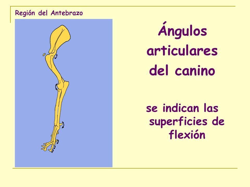 Región del Antebrazo Ángulos articulares del canino se indican las superficies de flexión