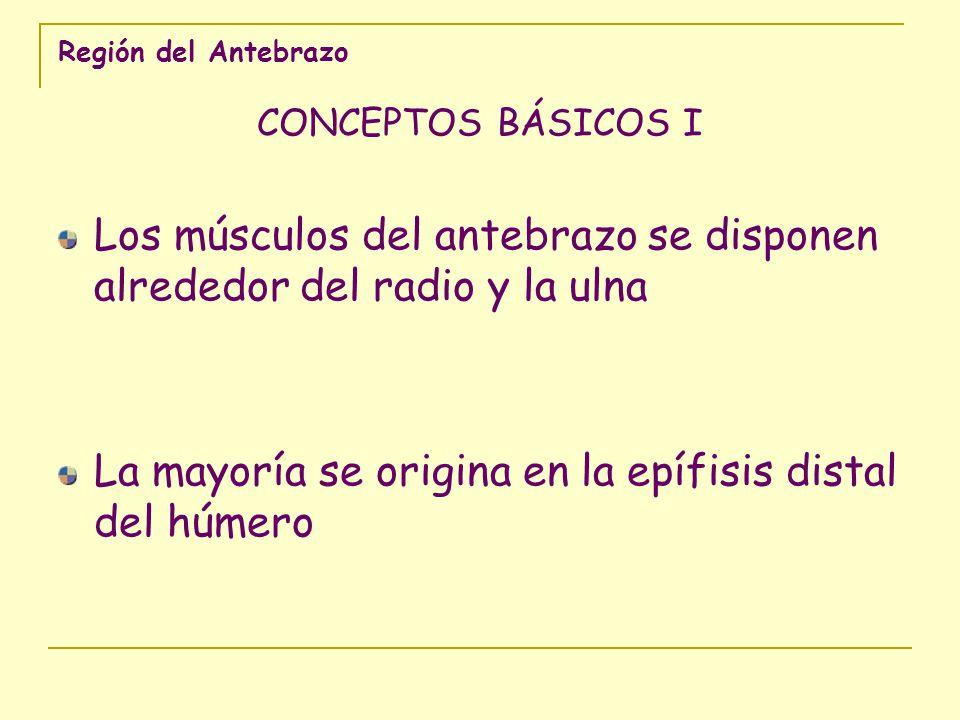 Región del Antebrazo CONCEPTOS BÁSICOS II Los músculos del antebrazo se insertan en tres segmentos diferentes: 1.- en el radio y la ulna, los músculos pronosupinadores 2.- en el carpo o las bases de los metacarpianos, los mm.