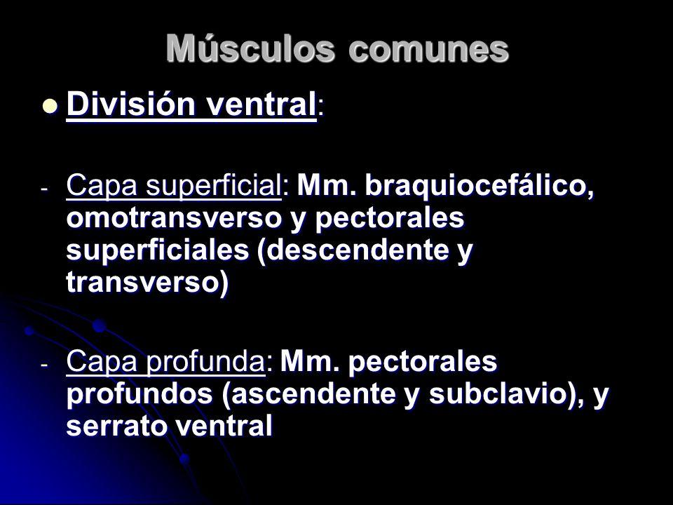 Músculos comunes División ventral : División ventral : - Capa superficial: Mm.