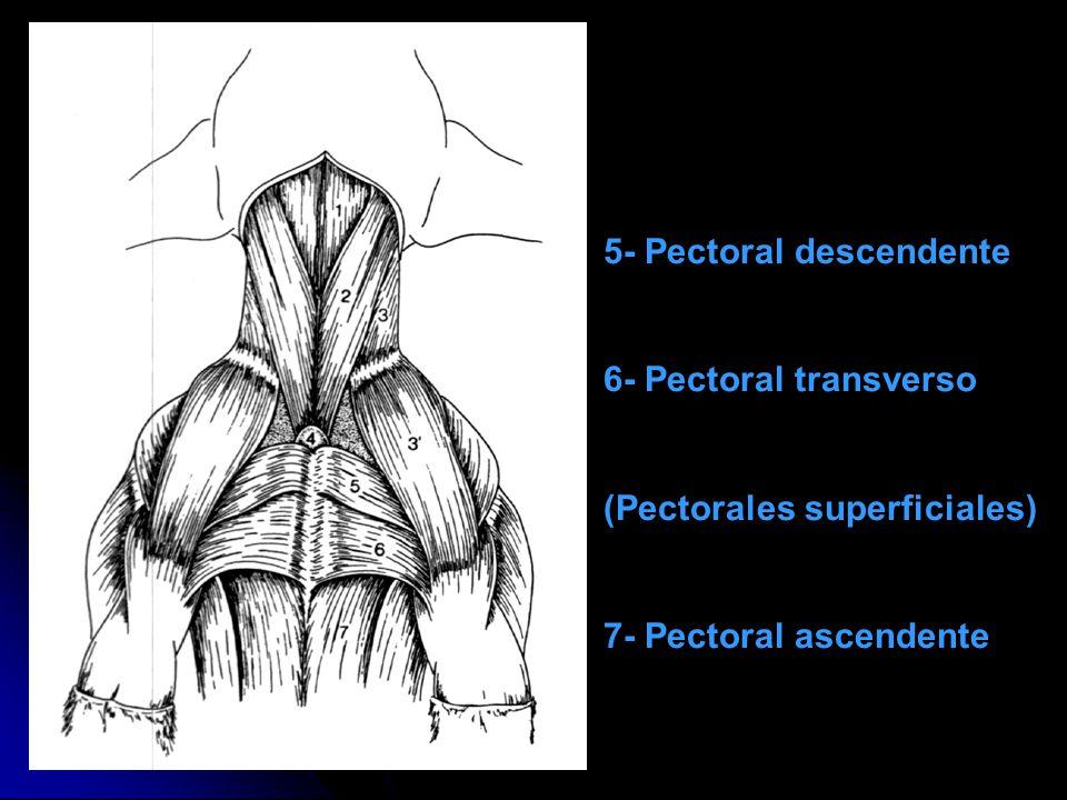 5- Pectoral descendente 6- Pectoral transverso (Pectorales superficiales) 7- Pectoral ascendente