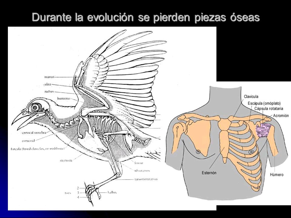 Durante la evolución se pierden piezas óseas