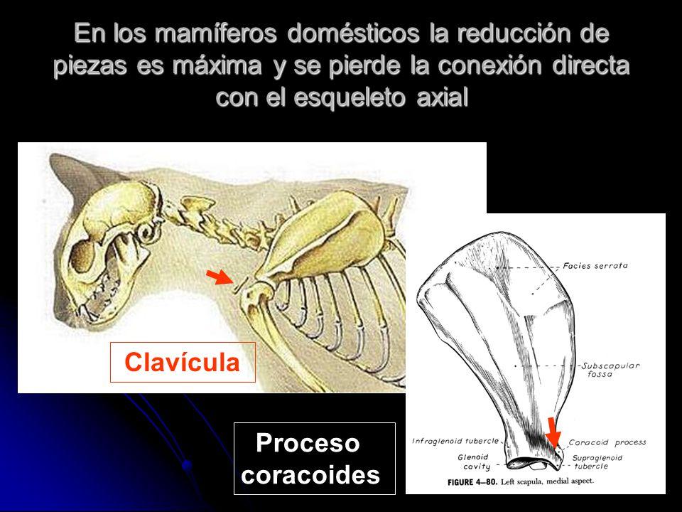 En los mamíferos domésticos la reducción de piezas es máxima y se pierde la conexión directa con el esqueleto axial Clavícula Proceso coracoides