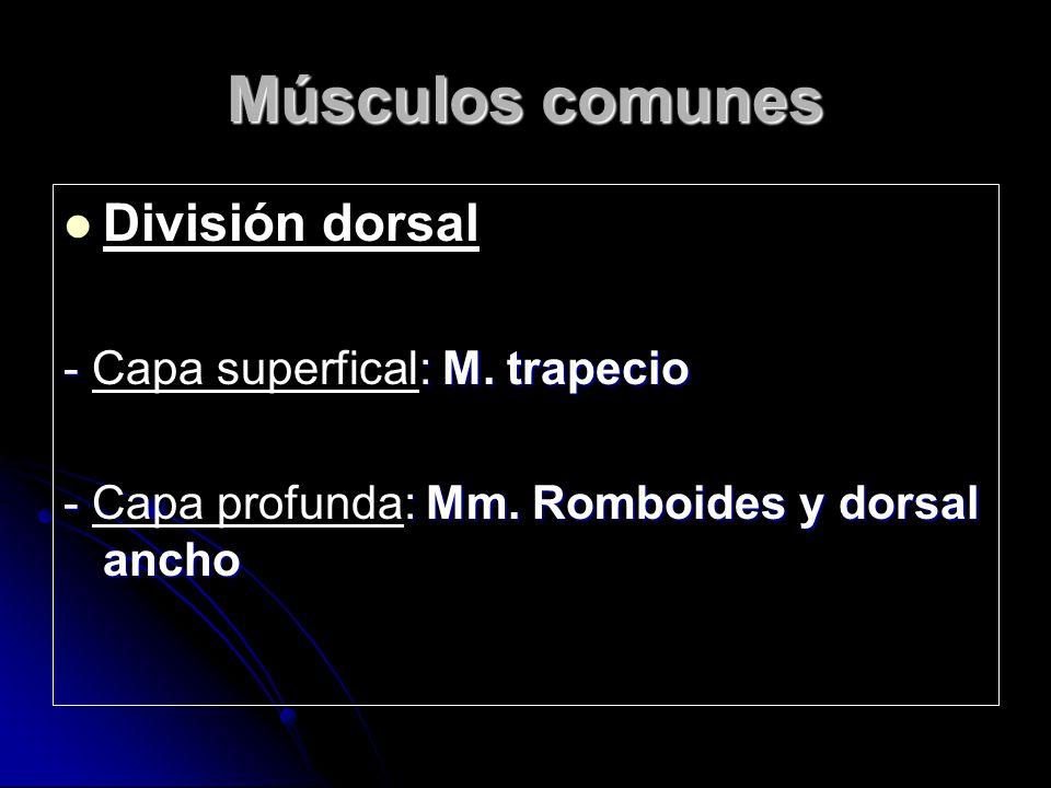 Músculos comunes División dorsal - : M.trapecio - Capa superfical: M.