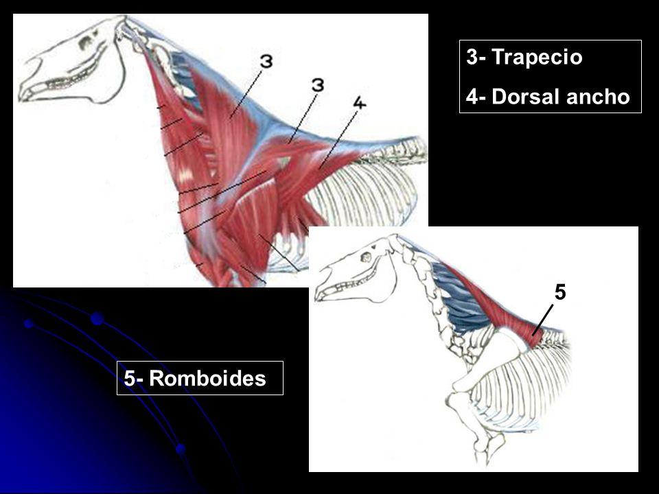 5 5 3- Trapecio 4- Dorsal ancho 5- Romboides