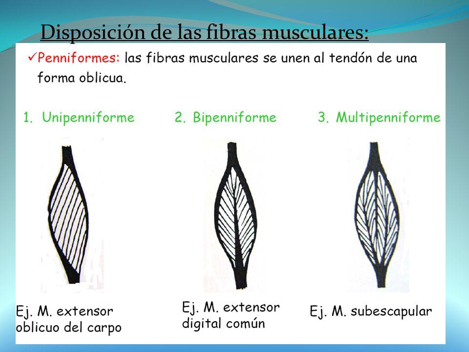Disposición de las fibras musculares: