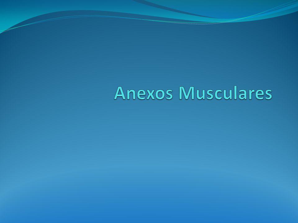 Anexos musculares Se designa de esta forma a diversas formaciones de tejido conectivo que complementan, mantienen y ayudan a los músculos estriados en su funcionamiento.