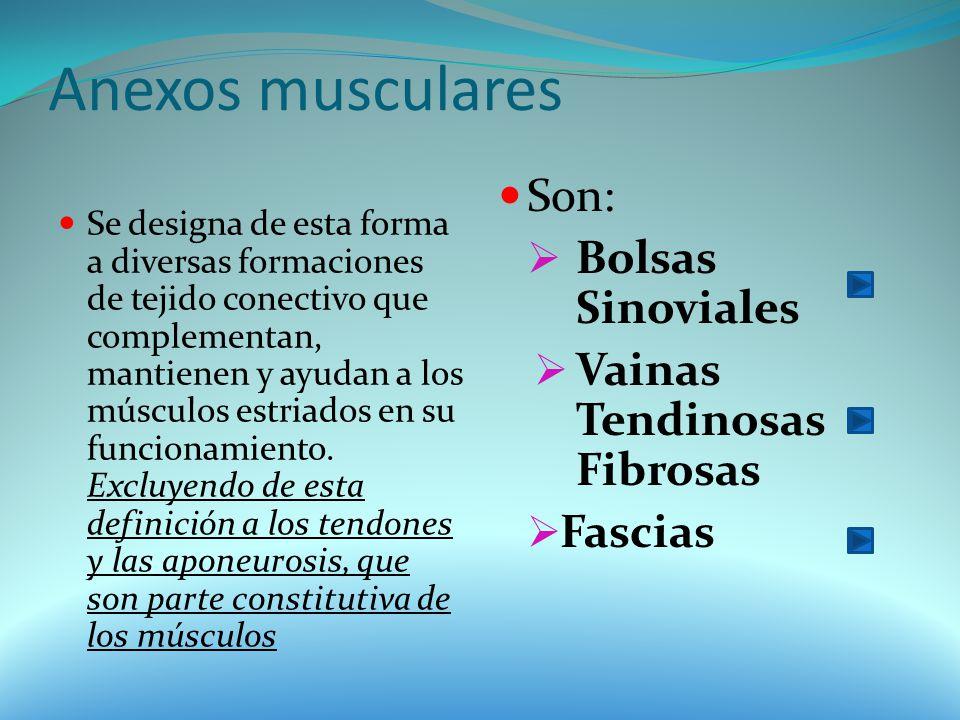 Anexos musculares Se designa de esta forma a diversas formaciones de tejido conectivo que complementan, mantienen y ayudan a los músculos estriados en