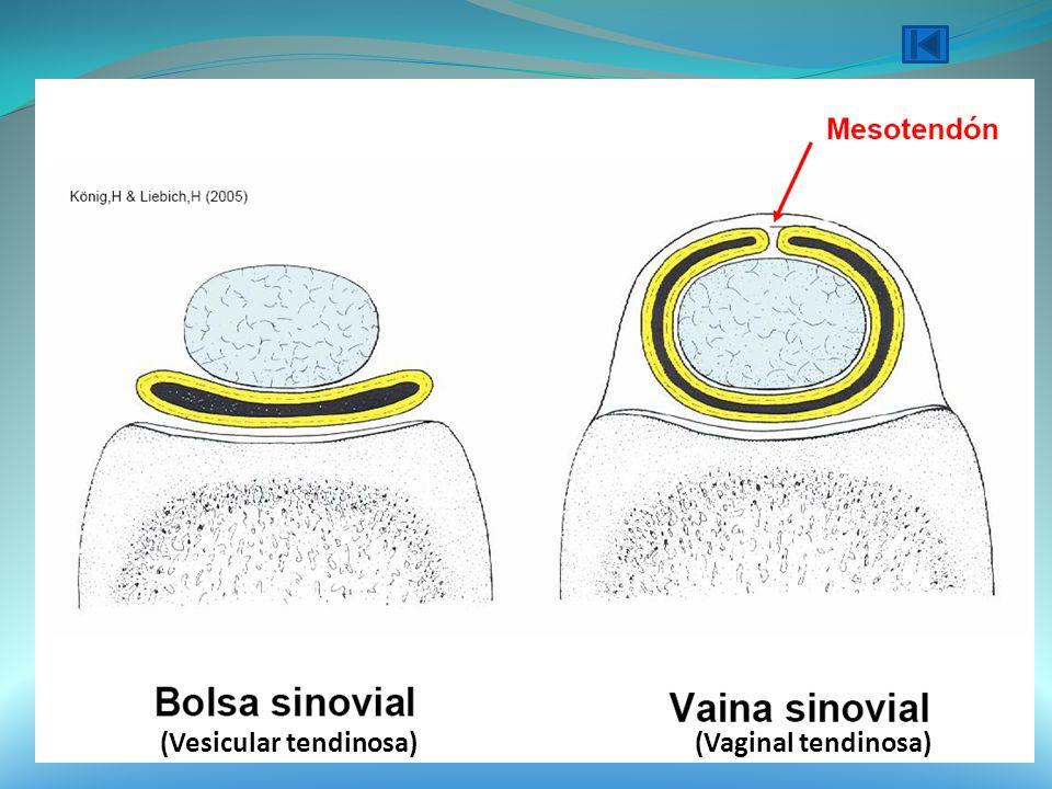 (Vesicular tendinosa)(Vaginal tendinosa)