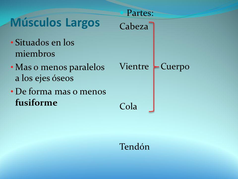 Músculos Largos Situados en los miembros Mas o menos paralelos a los ejes óseos De forma mas o menos fusiforme Partes: Cabeza Vientre Cuerpo Cola Tend