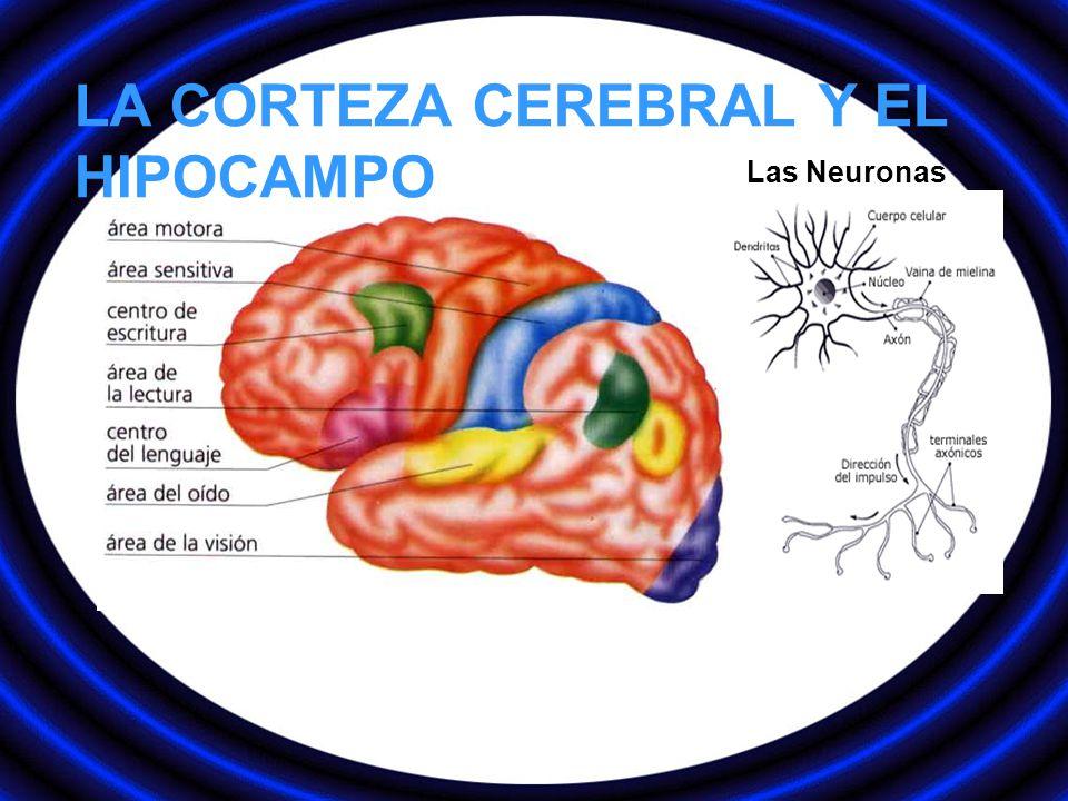 LA CORTEZA CEREBRAL Y EL HIPOCAMPO Las Neuronas