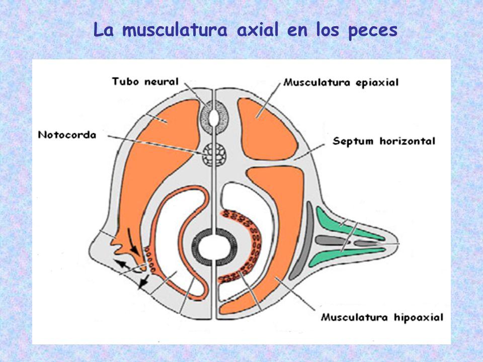 Evolución de la musculatura axial en los tetrápodos