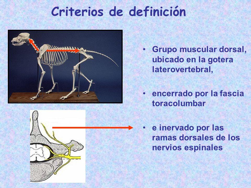 Criterios de definición Grupo muscular dorsal, ubicado en la gotera laterovertebral, encerrado por la fascia toracolumbar e inervado por las ramas dor